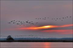 Ganzen boven Leekstermeer (TeunisHaveman) Tags: meer zonsondergang ganzen leekstermeer provdrenthe provgroningen matsloot