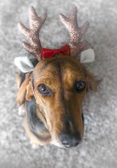 our reindeer... (Blende1.8) Tags: hund dog chien jagdhund hound hounddog segugio italian weihnachten weihnacht christmas card carstenheyer leica dlux fun spass funny geweih schleife rot red animal