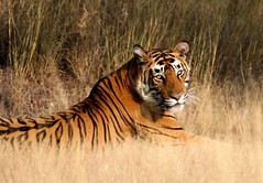 ranthambore (Top Indian Holidays) Tags: ranthambore golden triangle tour with day trip jaipur