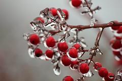 Ice (valeriaconti136) Tags: allaperto fruttodibosco nandinadomestica bacche ghiaccio canoneos550d