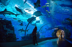 The cure for everything is salt water - sweat, tears or the ocean (eweliyi) Tags: eweliyi me ja self denblåplanet seatunnel sea ocean aquarium fish sharks stingray blue water nature oceanlife copenhagen denmark