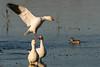 Just Flying In – Snow Goose (MelRoseJ) Tags: colusa california unitedstates nature sonyalpha sal70400g sony sonyilca77m2 a77ii alpha autofocus birds goose colusanationalwildliferefuge