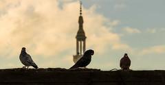 After the rain (Hamed E Khalil) Tags: pigeon dove birds pigeons
