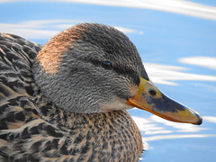 Duck Portrait (Oo_Andre_oO) Tags: naturfotografie nikoncoolpixp610 nikon nature nah natur coolpixp610 closeup cute colours close camera coolpix digital deutschland duck animals animal awesomenature augen ente eyes effects entenvögel entenvogel eye bird bridgecam beautiful bridgekamera bunt superzoom schnabel schärfentiefe stockente sonnenuntergang wild wildlife wasservogel water wasser waterbird waservogel tier tieraugen textur zoom maxzoom outdoor foto p610 photography photos photo portrait face farben highdetail lens vogel vögel nikonp610 makro