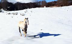 Copito de nieve (Japo García) Tags: caballo nieve galope montaña casa campo nevar animal sombra uno contraste foto japo garcía campaegli viajar vacaciones invierno bello diseño fotografía