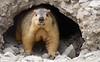 Himalayan marmot, India 2016 (reurinkjan) Tags: india 2016 ©janreurink himachalpradesh spiti kinaur ladakh kargil jammuandkashmir marmotahimalayana himalayanmarmotཕྱི་བphyibachiwa himalayanwildlife rodent animal