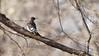 Red-headed Woodpecker 2 (mausgabe) Tags: olympus em1 olympusm40150mmf28 olympusmc14 nyc centralpark 68thstreet bird woodpecker male juvenile redheadedwoodpecker