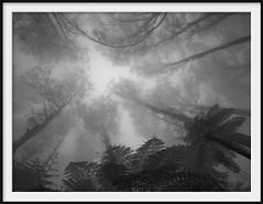 deep forest 3 (Andrew C Wallace) Tags: deepforest mist fog rain mountain domdomsaddle trees victoria australia ir infrared olympusomdem5 microfourthirds m43 blackandwhite bw