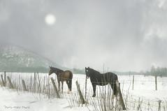 Jour de brouillard ... ( P-A) Tags: brouillard campagne luskville chutes hiver doux neige chevaux montagnes collines tableau photos simpa©