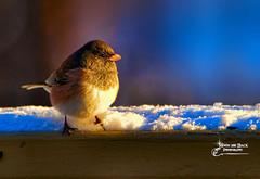WINTER VISITORS (Aspenbreeze) Tags: darkheadedjunco junco wildbird bird sunset sundown winter snow nature wildanimal wildlife bevzuerlein aspenbreeze moonandbackphotography