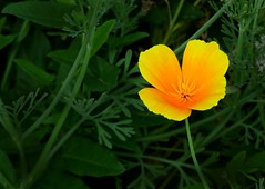 Kleine Schönheit (chrisheidenreich) Tags: flower blume gelb yellow natur summer sommer