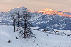Two elk grazing a ridge during sunset (YellowstoneNPS) Tags: jacobwfrank monitorpeakridge yellowstone alpenglow elk landscape sunset trees winter