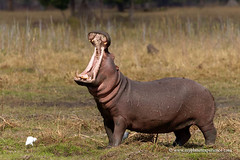 Yawning Hippo (My Planet Experience) Tags: hippo hippopotamus hippopotamusamphibius male yawning grass water riverbank wildlife animal nopeople day horizontal liwonde national park malawi mw southern africa myplanetexperience wwwmyplanetexperiencecom