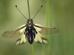 Ascaphe soufré * (Titole) Tags: green butterfly papillon friendlychallenges titole nicolefaton ascaphesoufré