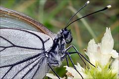 Aporia-crataegi__4 (amadej2008) Tags: white blackveinedwhite aporiacrataegi aporia belinke taxonomy:binomial=aporiacrataegi baumweisling belinka glogovabelinka