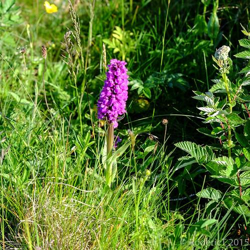 20150628-DSCF7092 Northern Marsh Orchid Orkney.jpg