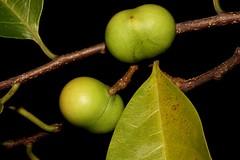 Prunus brachystachya (andreas lambrianides) Tags: prunus australiannativeplant rosaceae australianflora capeyork rainforestplants arfp australianrainforests australianrainforestplants qrfp arffs australianrainforestfruits australianrainforestseeds greenarffs tropicalarf lowlandarf cyrfp australianrainforestfruitsandseeds prunusbrachystachya claudiealmond pygeumgriseum prunusgrisea