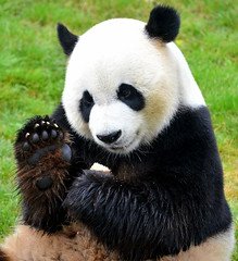 Giant Panda, Pairi daiza (samanthaschutte72) Tags: giant zoo nikon panda dierentuin daiza reuzenpanda pairi d3300