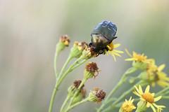 Cetonia aurata - Gemeiner Rosenkfer (ernst.ruhe) Tags: insekten kfer coleoptera insecta cetoniaaurata pterygota neoptera cetonia polyphaga neuflgler scarabaeoidea ernstruhe fluginsekten scarabaeiformia gemeinerrosenkfer fotovonernstruhe fotosvonernstruhe