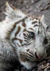 White Tiger Cub (Sandra Wildeman) Tags: portrait zoo nikon portrt 70300mm tierpark portret tigre bigcats dierentuin amnville wittetijger tigreblanco katachtigen whitetigercub tigreblanc groskatzen d5300 zoodamneville