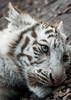 White Tiger Cub (Sandra Wildeman) Tags: portrait zoo nikon porträt 70300mm tierpark portret tigre bigcats dierentuin amnéville wittetijger tigreblanco katachtigen whitetigercub tigreblanc groskatzen d5300 zoodamneville