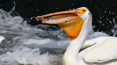 "American white pelican _H057797d (Peacefulbirder) Tags: wild white bird nature outdoor pelican rapids american richland bird"" ""wild dam"" ""horn"