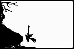 Pigeon (Zelda Wynn) Tags: weather flying blackwhite skies pigeon scenic auckland artgalleryofnsw cloudscape troposphere inspiredbyalfredstieglitz zeldawynnphotography