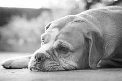 Bored (Explore) (Vinicius_Ldna) Tags: brazil portrait dog pet love brasil canon 50mm bokeh bored explore tired boxer nina cansada londrina entediada explored 10154 exploreaug6201594