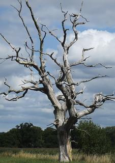 Lightening Tree - mid summer - Explore 8 Aug 2015