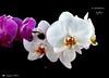 I COLORI DELLA NATURA.    in explore. (Salvatore Lo Faro) Tags: nature natura rosso bianco giallo fiore orchidea maschera colori orticola mostra floreale milano salvatore lofaro nikon 7200
