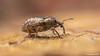 Hypera (Hypera) postica (Gyllenhal, 1813) (Christos Zoumides) Tags: eumetazoa arthropoda hexapoda insecta coleoptera polyphaga cucujiformia curculionoidea curculionidae hyperinae hyperini hypera postica hyperapostica weevil alfalfaweevil alfalfa pest bug europe southeurope mediterranean cyprus nicosia alona troodos troodosmountains nikon nikond750 venus venusmacro venusmacrooptics venus60mmf28ultramacrolens venus60mm venus60mmf28ultramacro venus60mmf2821ultramacro venus60mmf2821macro macro macrosdenaturaleza macroexploration macrodreams macrophotography closeup nationalgeographicwildlife ngc nature outdoor animal field depthoffield insect taxonomy:binomial=hyperapostica taxonomy:binomial=hyperahyperapostica