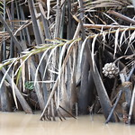 These are not mangroves but dwarf palms thumbnail