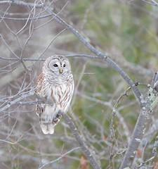 Barred Owl (RWGrennan) Tags: barred owl vermont 7 bird nikon 600 mm 150600 tamron d610 dusk vt roadside december wild wildlife strix varia rwgrennan ryan grennan rgrennan 600mm nature winter tree