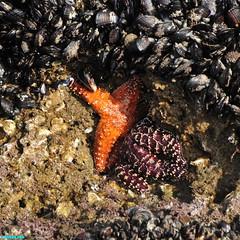 HiddenStarfish (mcshots) Tags: usa california socal losangelescounty coast beach lowtide tidepools sealife kelp eelgrass plants seaweed rocks reef ocean sea sand nature travel stock mcshots