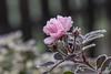 Morgenfrost (bohnengarten) Tags: schweiz swiss switzerland eos 80d thurgau flower blume blüte rose