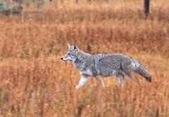 Coyote (Canis latrans) (zgrial) Tags: cayote canine wildlife mormonrow grandteton nationalpark wyoming grassland canislatrans zgrial