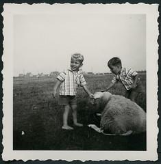 Archiv K606 Duldsames Schaf, 1960er (Hans-Michael Tappen) Tags: archivhansmichaeltappen fotorahmen outdoor tiere tierfreunde tierliebe kinder kind child children schaf weide wiese jungen boys junge boy vieh sommer barfus barefoot landschaft scenery 1960er 1960s