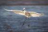 Bar Hopping (gseloff) Tags: whitemorphreddishegret bird bif feeding beach surf bolivarflatsshorebirdsanctuary houstonaudubonsociety galvestoncounty texas gseloff