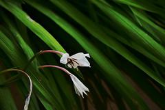 Perfume de verano (anitareal) Tags: flor flora blanco verde rama verano sanlorenzo jujuy argentina elartedeanamaria blog airelibre foto nikonpersonal