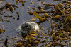 Harbor Seal (Been there, photographed that...) Tags: pointlobos