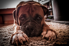Lewis (Baza77) Tags: boxer dog dublin friend