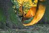 Cervus elaphus / Red deer / Благородный олень / Kronhjort (Svitlana Tkach) Tags: cervini cervinae cervidae artiodactyla mammalia wild animal wildlife krondyr cervus elaphus red deer благородный олень kronhjort kronvildt hjorte parrettåede hovdyr pattedyr dyr настоящие олени оленевые парнокопытные млекопитающие