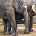 Jungtier-Elefant mit Herde