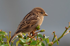 Female House Sparrow...... (klythawk) Tags: housesparrow passerdomesticus female nature winter shrub wildlife brown beige green red grey leaves buds olympus em1mkll omd 300mm 14xtc attenboroughnaturereserve beeston nottingham klythawk