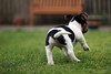 29th December 2016 (lucy★photography) Tags: max jack russell terrier cute puppy running back bum