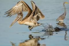 Hop, skip or a jump? {Explored} (ChicagoBob46) Tags: juvenilebrownpelican brownpelican pelican bird jndingdarlingnwr florida sanibel sanibelisland nature wildlife explore explored