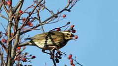Redwing.  Turdus iliacus (jaytee27) Tags: turdusiliacus redwing naturethroughthelens