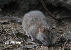 AN9A1415 (Mark Strain.) Tags: rattus rat wildlife wild animal animals nature mammal