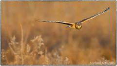 Northern Harrier Hen (EXPLORE, Jan 5 2017, #246) (RKop) Tags: d500 nikon 200500mmf56edvrzoom northernharrier armlederpark ohio cincinnati handheld raphaelkopanphotography