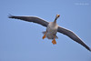 Conquering The World !!! (Anirban Sinha 80) Tags: nikon d610 500mm ed vr ii n bird goose flight landing wings